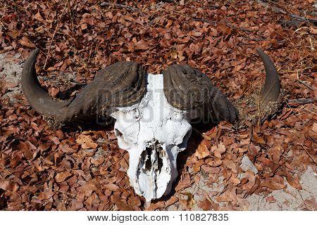 Buffalo Skull In Okavango Delta Landscape