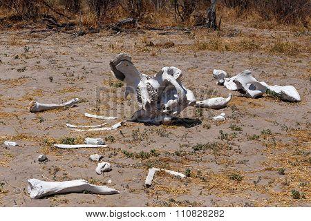 Elephant Bones In Okavango Delta Landscape