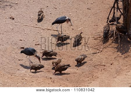 Flock Of White Backed Vulture