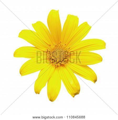 Yellow Tithonia Diversifolia Flowers