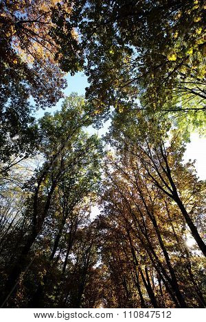 Autumn Sky Through Golden-leaved Trees