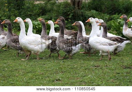Young White Geese Grazing On Pasture Summertime