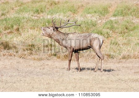 Large Red Deer During Mating Season