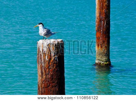 Crested Tern on Piling: Indian Ocean