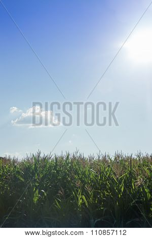 Corn Field With Blue Sky