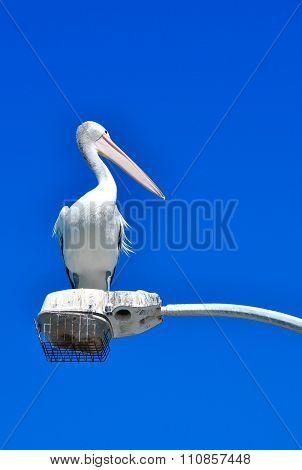 Australian Pelican Isolated