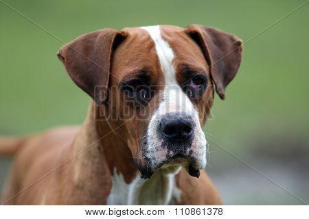 Smart Female American Bulldog Looking At The Camera