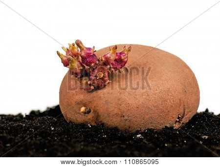 Old potato with sprouts in black soil isolated on white background