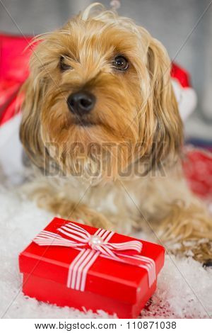 yorkshire terrier with a cap and a gift for x-mas