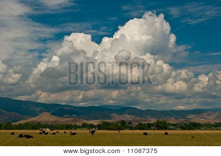 Cattle and Colorado Clouds