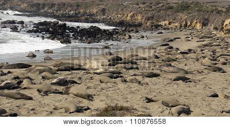 Elephant Seal Nursery