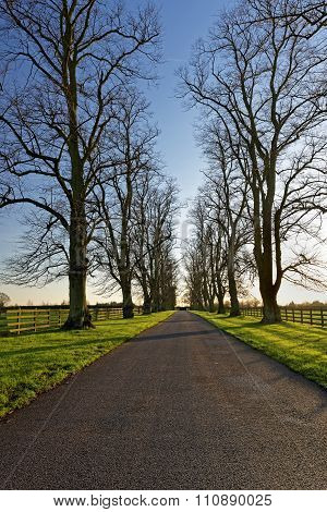 Oaks Lining A Country Lane In Winter