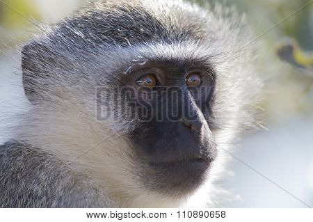 Vervet Monkey Portrait Close Up With Detail On Long Facial Hair
