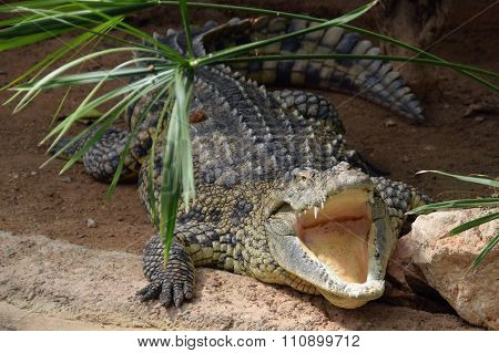 Nile Crocodile With Open Jaws