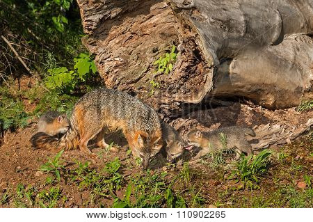 Grey Fox Vixen And Kits (urocyon Cinereoargenteus) Next To Log