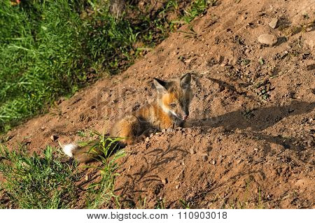 Red Fox Kit (vulpes Vulpes) Licks Nose