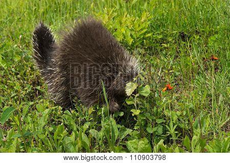 Porcupine (erethizon Dorsatum) Behind Leaf