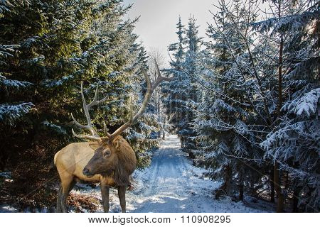 Red deer antlered went for walk.  Early morning in forest glade with traces of skis. Christmas forest in the snow