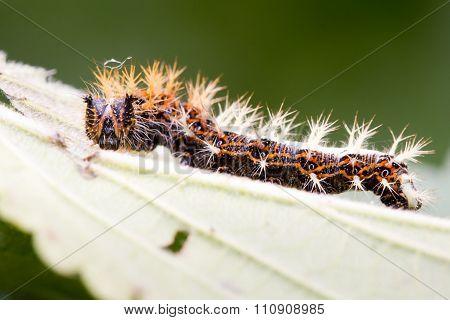 Comma (Polygonia c-album) late instar caterpillar