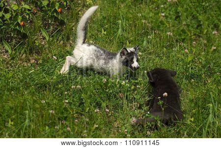 Marble And Silver Fox (vulpes Vulpes) Play In The Grass