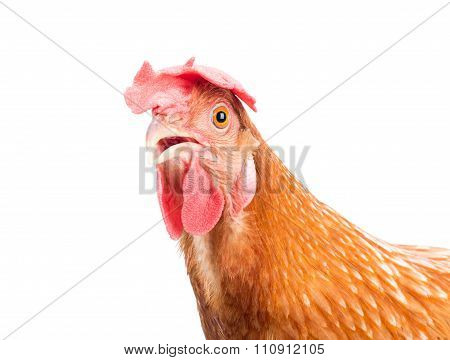 Brown Chicken Hen Standing Isolated White Background Use For Farm Animals And Livestock Theme