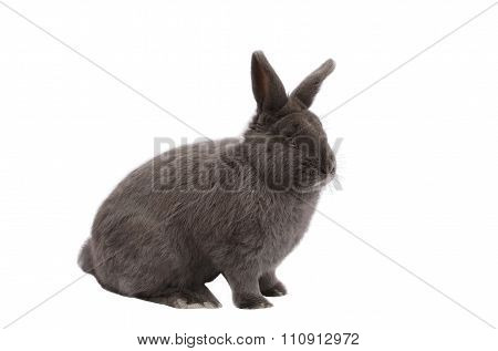 Purebred Vienna glaucous-blue rabbit on white background