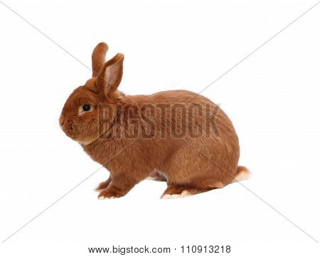 New Zealand purebred red rabbit on white background