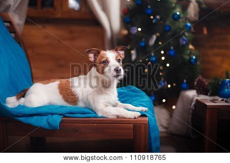 Dog Jack Russell Terrier Portrait On A Studio Background