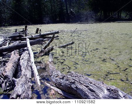 Fallen Logs in a Northern Michigan Swamp