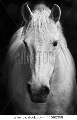 White horse's black and white art portrait