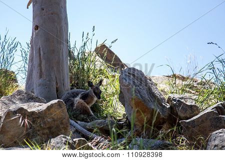 Red-necked Wallaby Macropus rufogriseus