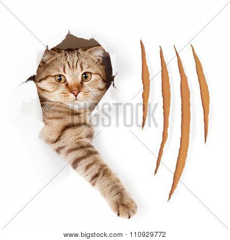 Funny cat in torn wallpaper hole with claw cuts isolated
