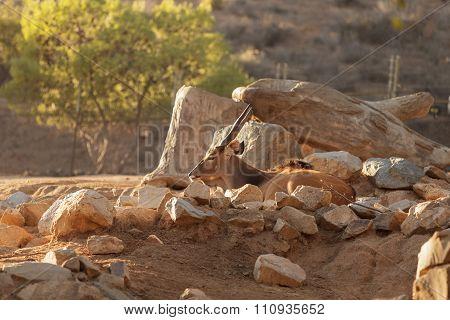 Bontebok, Damaliscus pygargus