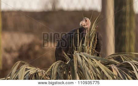 California condor, Gymnogyps californianus