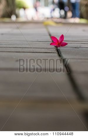 Plumeria On The Floor Of Plumeria Tree Tunnel. Blur Background
