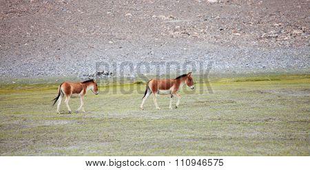 Kiang (Equus kiang) - Tibetan Wild Ass, Ladakh, India