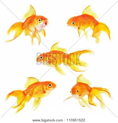 Set Of Golden Carp Aquarium Fish Isolated On White Background