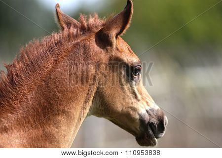 Portrait Of A Few Weeks Old Chestnut Arabian Foal