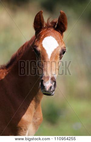 Beautiful Few Weeks Old Chestnut Foal Posing On Pasture