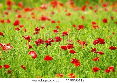 Field of red Poppy (Papaveraceae).