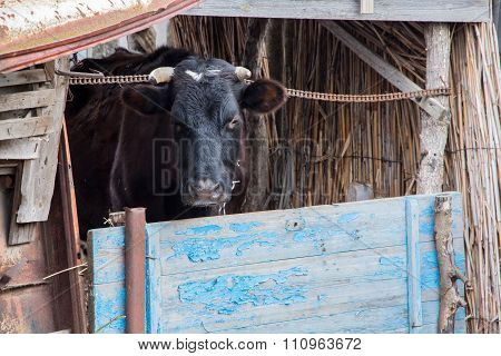 Russian black cow