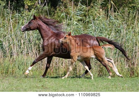 Arabian Horses Canter On Natural Background Summertime