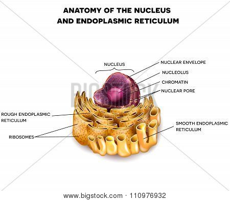 Cell Nucleus And Endoplasmic Reticulum