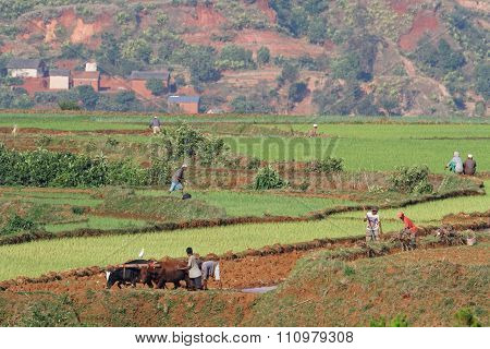 Betafo rice fields