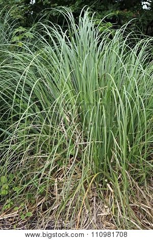 Carex is grassy plants in the family Cyperaceae