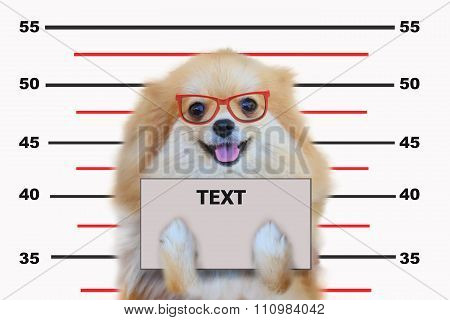 Pomeranian dog close up portrait