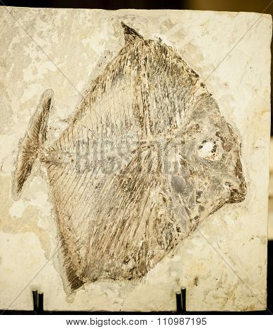 Fossil Of Fish With Tall Body