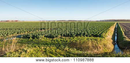 Cultivation Of Brussels Sprouts On A Large Field