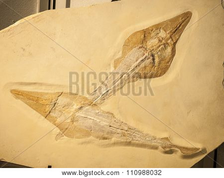 Fossil Of Two Rhynobatos Fishes