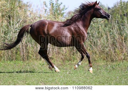 Arabian Young Horse Galloping On Pasture Against Green Reed